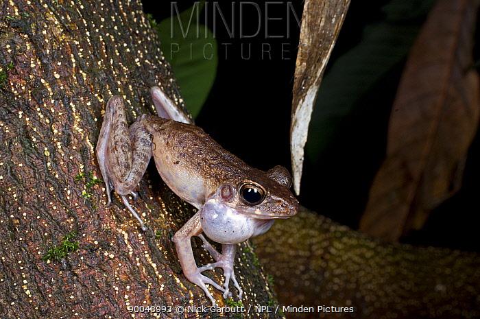 Bush frog (Philautus sp) calling at night Bako NP, Sarawak, Borneo, Malaysia  -  Nick Garbutt/ npl