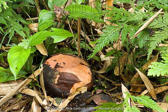 Rafflesia (Rafflesia keithii) flower Lower slopes of Mt Kinabalu, near Poring Hot Springs, Kinabalu National Park, Sabah, Borneo, Malaysia  -  Nick Garbutt/ npl