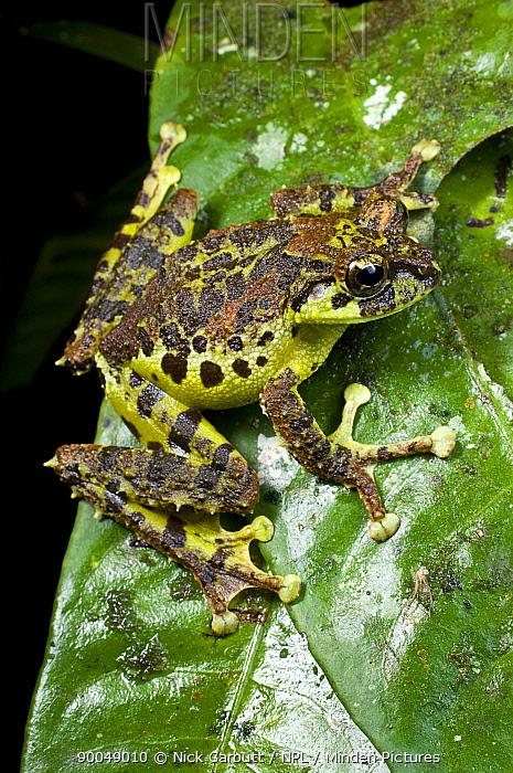 Mossy tree frog (Rhacophorus everetti) active at night alongside mountain stream Mt Kinabalu, (at 1400m), Sabah, Borneo, Malaysia  -  Nick Garbutt/ npl