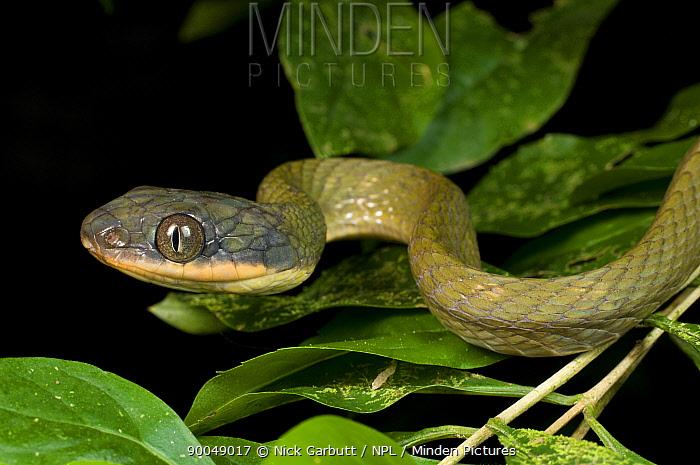 Black, Dark-headed cat snake (Boiga nigriceps) Kinabatangan River, Sabah, Borneo, Malaysia  -  Nick Garbutt/ npl