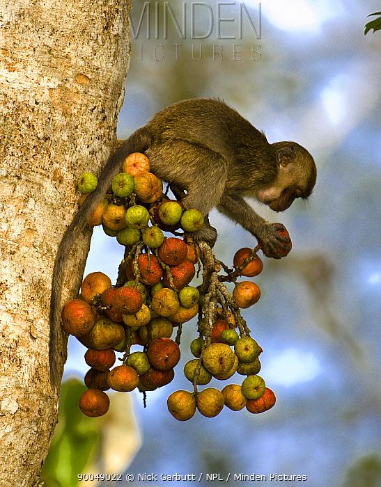 Long-tailed Macaque (Macaca fascicularis) young feeding on ripe figs (Ficus sp) Kinabatangan River, Sabah, Borneo, Malaysia  -  Nick Garbutt/ npl