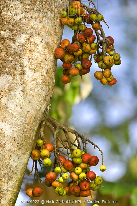 Fig (Ficus sp) in fruit Fruiting from trunk called cauliflory Kinabatangan River, Sabah, Borneo, Malaysia  -  Nick Garbutt/ npl