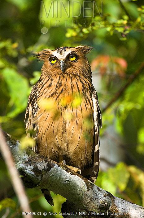 Adult Buffy-fish owl (Ketupa ketupa) in morning sun Kinabatangan River, Sabah, Borneo, Malaysia  -  Nick Garbutt/ npl