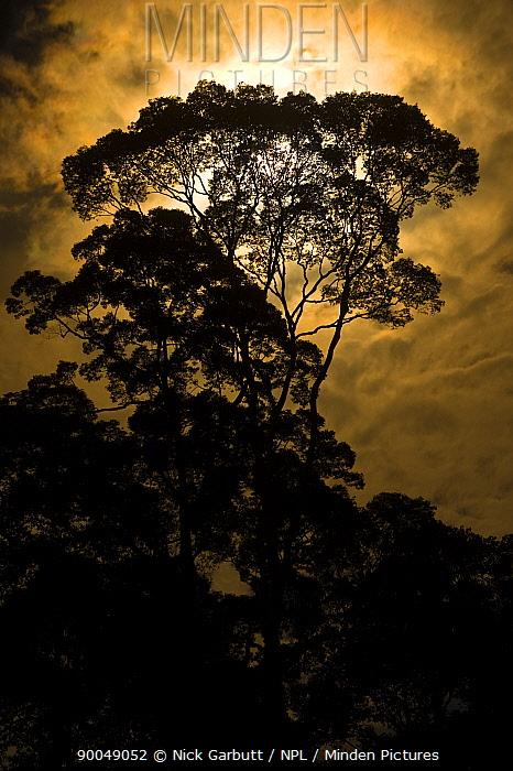 Rainforest canopy, Menggaris tree, by moonlight Danum Valley, Sabah, Borneo, Malaysia  -  Nick Garbutt/ npl