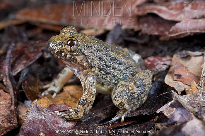 Kuhl's creek frog (Rana, Limnonectes kuhlii) Danum Valley, Sabah, Borneo, Malaysia  -  Nick Garbutt/ npl