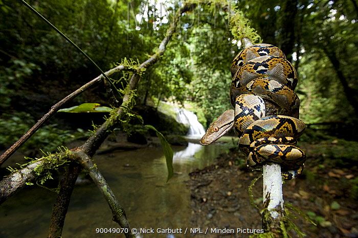 Reticulated Python (Python reticulatus) juvenile resting coiled round sapling by a stream Danum Valley, Sabah, Borneo, Malaysia  -  Nick Garbutt/ npl
