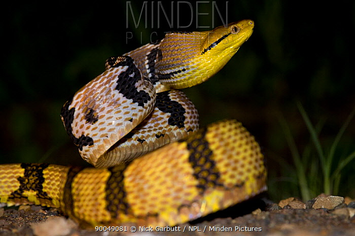 Adult Dog-toothed cat snake (Boiga cynodon) in aggresive posture at night Danum Valley, Sabah, Borneo, Malaysia  -  Nick Garbutt/ npl