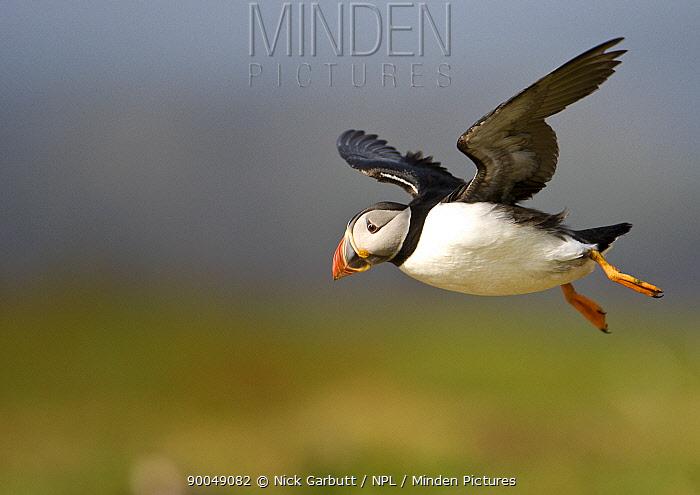 Atlantic Puffin (Fratercula arctica) in flight Treshnish Isles, Isle of Mull, Scotland United Kingdom  -  Nick Garbutt/ npl