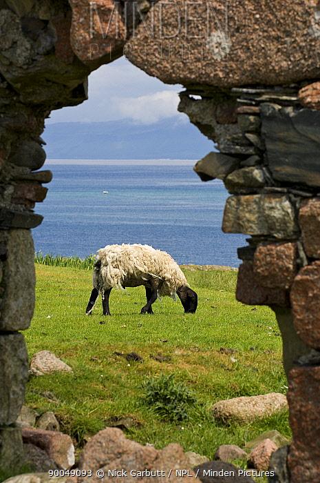 Sheep and stone arch ruin Isle of Iona, Inner Hebrides, Scotland, UK  -  Nick Garbutt/ npl