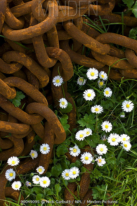 Common daisies (Belis perennis) growing amidst discarded rusty chain Isle of Iona, Inner Hebrides, Scotland, UK  -  Nick Garbutt/ npl