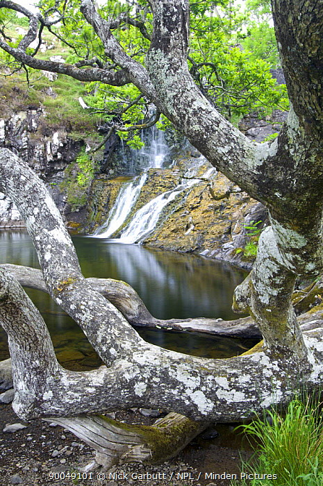 Ancient Oak (Quercus sp) woodland growing by waterfall and pool near Scarsdale Wood, coast of Isle of Mull, Scotland, UK  -  Nick Garbutt/ npl