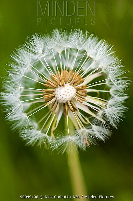 Seedhead of Dandelion (Taraxacum sp) flower, Scotland, UK  -  Nick Garbutt/ npl