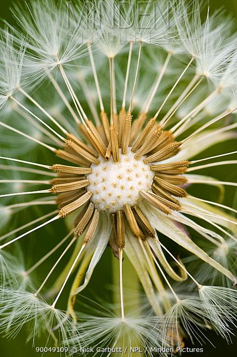 Close up of Seedhead of Dandelion (Taraxacum sp) flower, Scotland, UK  -  Nick Garbutt/ npl