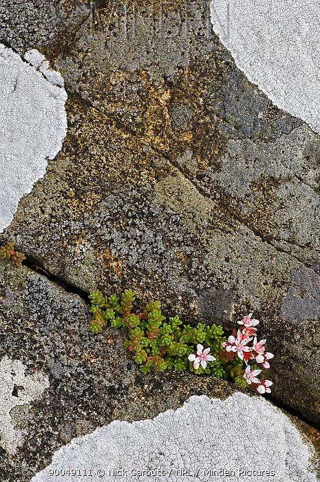 English Stonecrop (Sedum anglicum) growing in rock crevices on the shoreline Coast of Isle of Mull, Scotland United Kingdom  -  Nick Garbutt/ npl