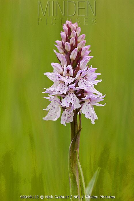 Heath Spotted Orchid (Dactylorhiza maculata) Isle of Mull, Scotland United Kingdom  -  Nick Garbutt/ npl
