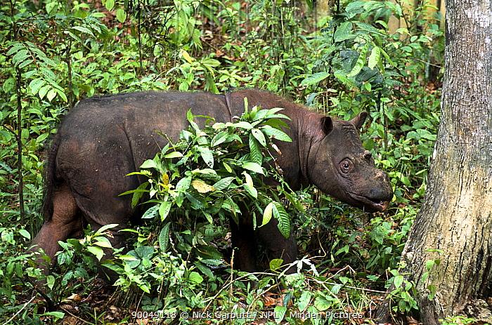 Sumatran Rhinoceros (Dicerorhinus sumatrensis) from isolated rainforest areas in Borneo (Tabin and Danum Valley) and Sumatra (Way Kambas and Gunung Leuser) Photographed in captivity at Sepilok Rehabilitation Centre, Sabah, Borneo, Malaysia  -  Nick Garbutt/ npl