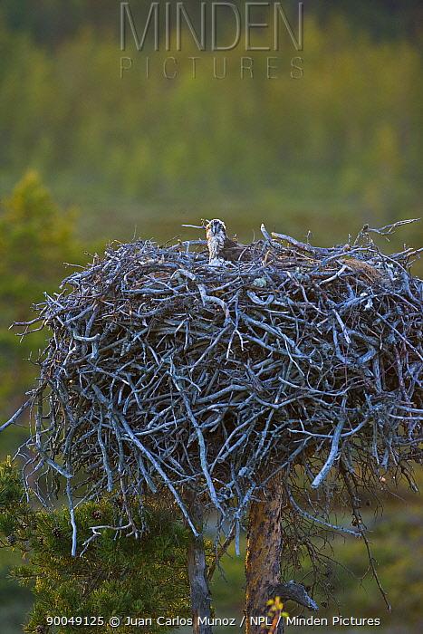 Osprey (Pandion haliaetus) adult on large nest, Finland  -  Juan Carlos Munoz/ npl