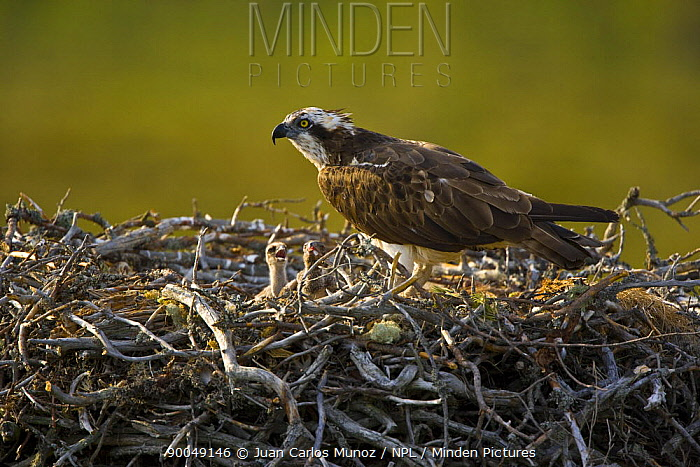 Osprey (Pandion haliaetus) adult with two young chicks in nest, Finland  -  Juan Carlos Munoz/ npl