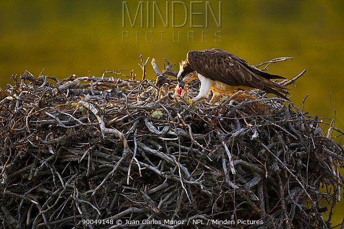 Osprey (Pandion haliaetus) adult feeding chicks in nest, Finland  -  Juan Carlos Munoz/ npl