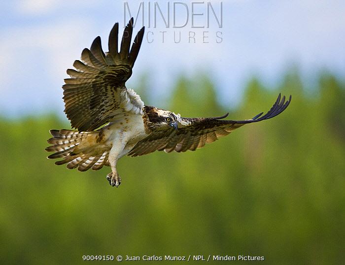 Osprey (Pandion haliaetus) adult flying, about to land at nest, Finland  -  Juan Carlos Munoz/ npl