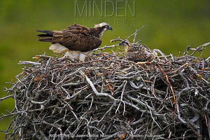 Osprey (Pandion haliaetus) adult and chick on nest, Finland  -  Juan Carlos Munoz/ npl