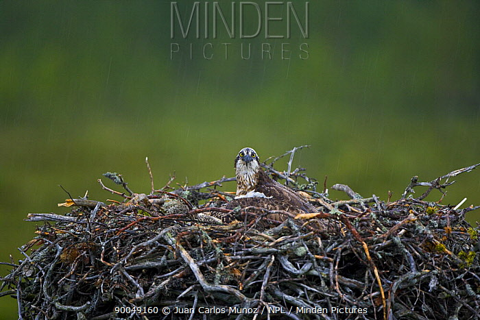 Osprey (Pandion haliaetus) adult on nest, Finland  -  Juan Carlos Munoz/ npl