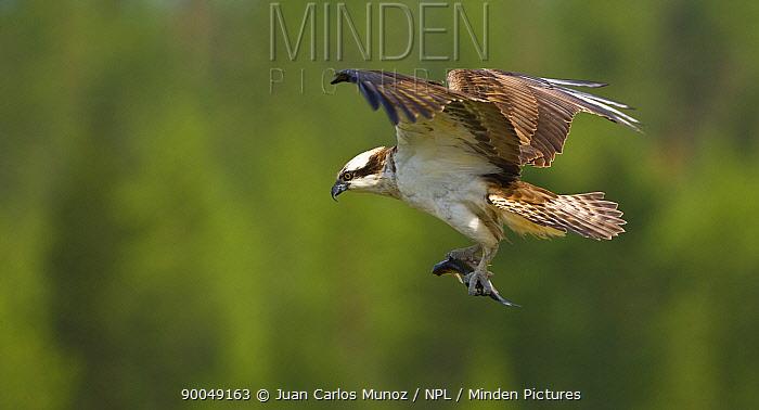 Osprey (Pandion haliaetus) adult flying carrying fish prey to nest, Finland  -  Juan Carlos Munoz/ npl