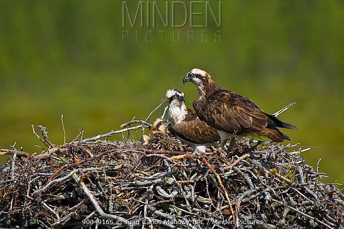 Osprey (Pandion haliaetus) pair on nest with chick, Finland  -  Juan Carlos Munoz/ npl