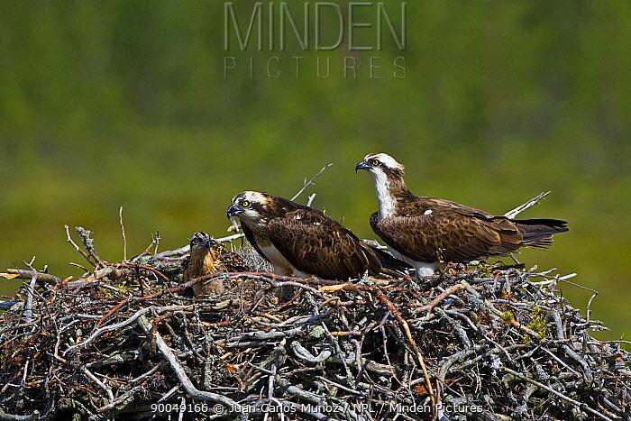 Osprey (Pandion haliaetus) pair on nest feeding chick, Finland  -  Juan Carlos Munoz/ npl