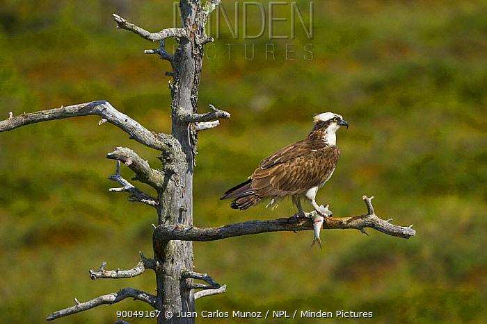 Osprey (Pandion haliaetus) perched with fish prey, Finland  -  Juan Carlos Munoz/ npl