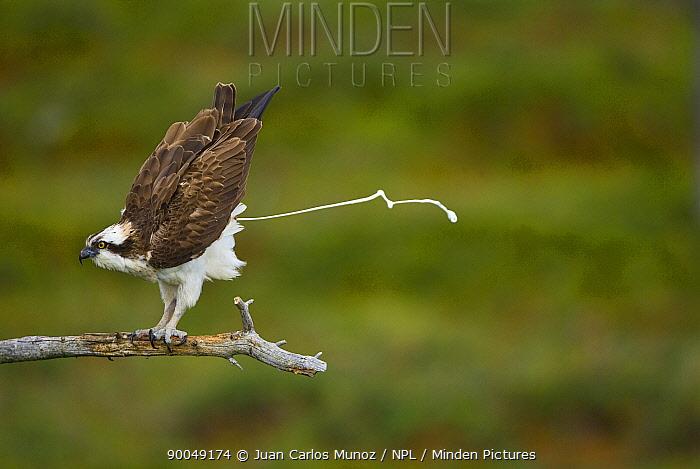 Osprey (Pandion haliaetus) adult perched, defecating, Finland  -  Juan Carlos Munoz/ npl