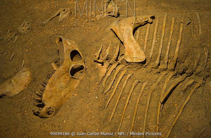 Fossil Dinosaur (Dimetrodon sp) bones, Royal Tyrrell Museum, Drumheller, Alberta, Canada  -  Juan Carlos Munoz/ npl