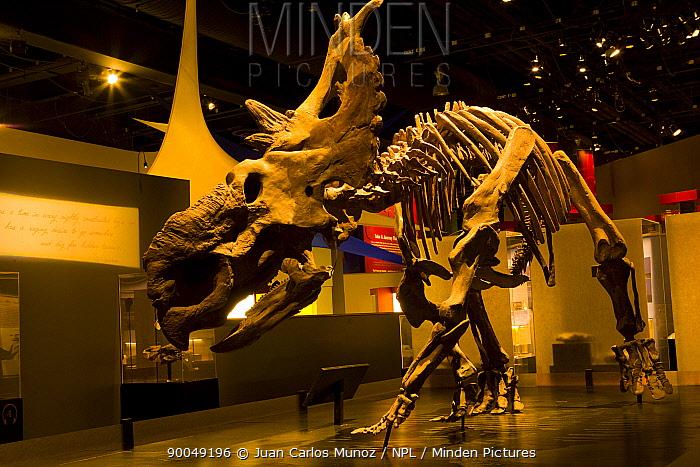 Dinosaur display with skeleton of (Pachrychinosaurus) Royal Tyrrell Museum, Drumheller, Alberta, Canada  -  Juan Carlos Munoz/ npl