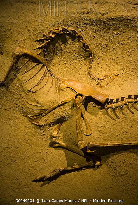 Fossil dinosaur (Struthiomimus altus) Royal Tyrrell Museum, Drumheller, Alberta, Canada  -  Juan Carlos Munoz/ npl