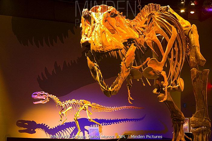 Dinosaur display with bones of (Tyrannosaurus rex) Royal Tyrrell Museum, Drumheller, Alberta, Canada  -  Juan Carlos Munoz/ npl