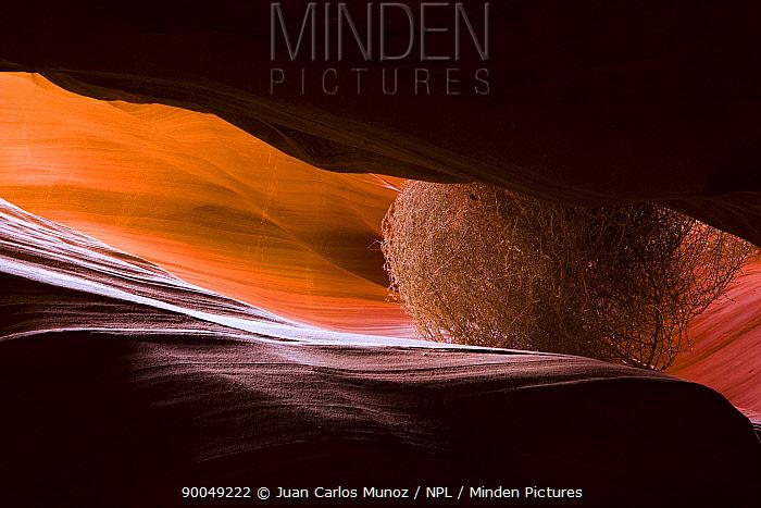Antelope canyon wiwht Tumbleweed, Arizona, USA  -  Juan Carlos Munoz/ npl