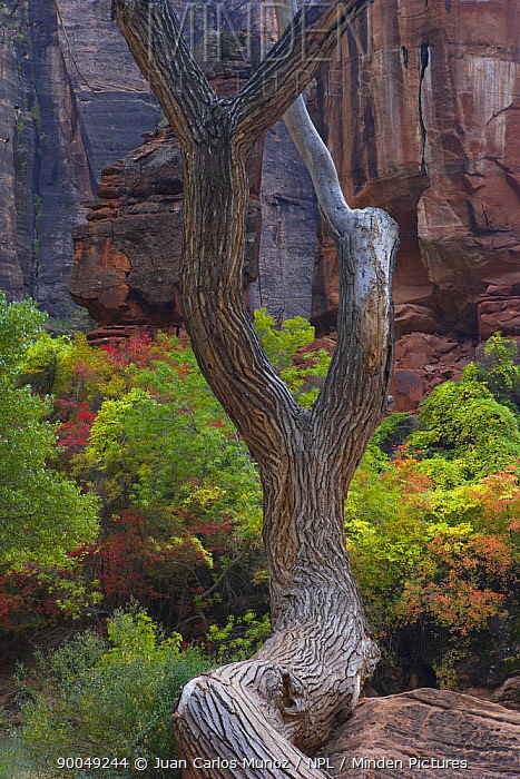 Red canyon cliffs of Zion NP with tree trunk in foreground, Utah, USA  -  Juan Carlos Munoz/ npl
