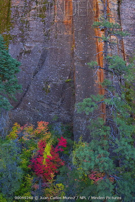 Trees growing at the foot of the Canyon cliffs of Zion NP, Utah, USA  -  Juan Carlos Munoz/ npl
