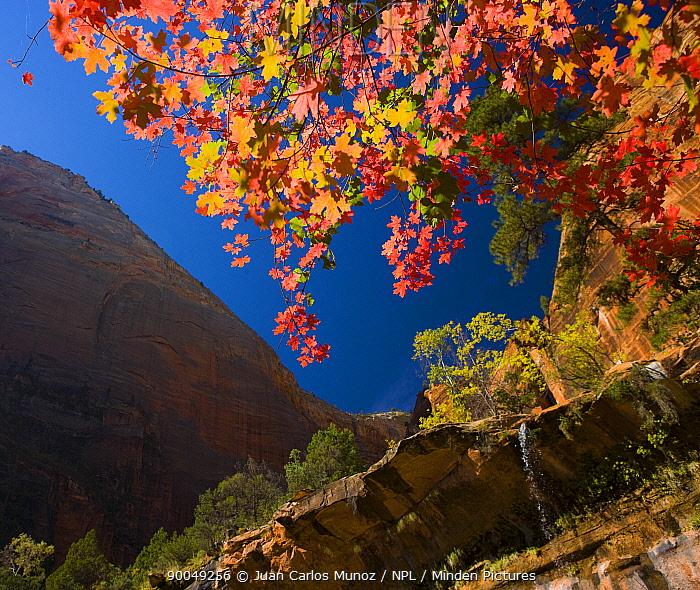 Looking up through autumn foliage at the canyon cliffs of Zion NP, Utah, USA  -  Juan Carlos Munoz/ npl