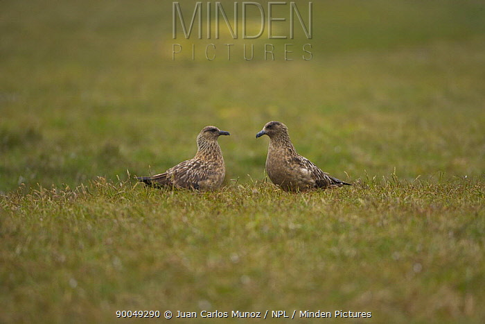 Great Skua (Catharacta skua) pair, Sheltand Islands, Scotland United Kingdom  -  Juan Carlos Munoz/ npl