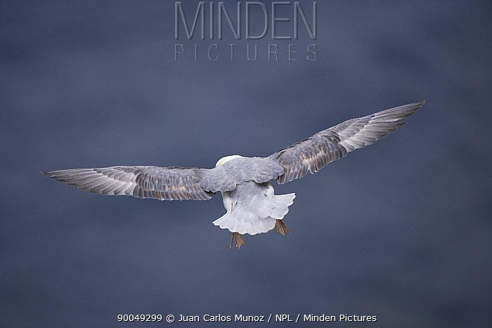 Northern Fulmar (Fulmarus glacialis) in flight, Shetland Islands, Scotland United Kingdom  -  Juan Carlos Munoz/ npl