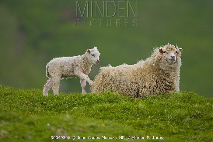 Domestic Sheep (Ovis aries)Shetland sheep with lamb, Shetland Islands, Scotland United Kingdom  -  Juan Carlos Munoz/ npl