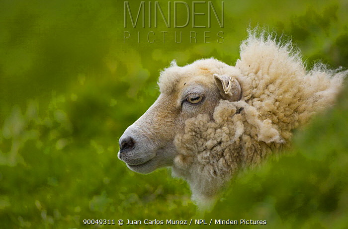 Domestic Sheep (Ovis aries)Shetland sheep, Shetland Islands, Scotland United Kingdom  -  Juan Carlos Munoz/ npl