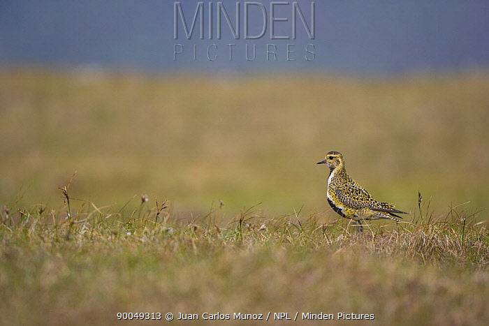 Golden Plover (Pluvialis apricaria) on moorland, breeding plumage, Shetland Islands, Scotland United Kingdom  -  Juan Carlos Munoz/ npl