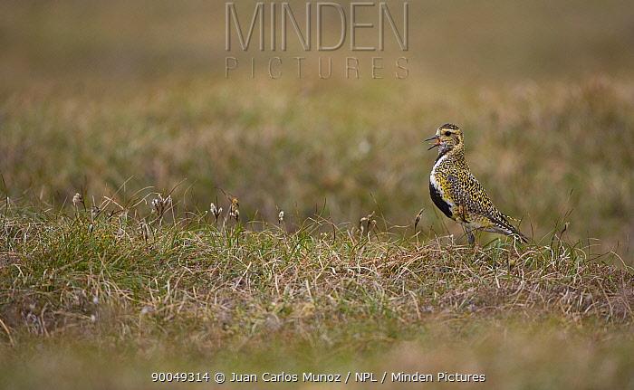 Golden Plover (Pluvialis apricaria) calling on moorland, breeding plumage,, Shetland Islands, Scotland United Kingdom  -  Juan Carlos Munoz/ npl