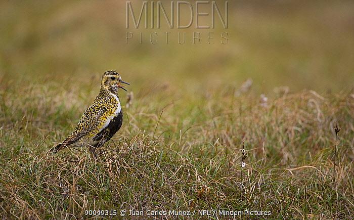 Golden Plover (Pluvialis apricaria) calling on moorland, breeding plumage, Shetland Islands, Scotland United Kingdom  -  Juan Carlos Munoz/ npl