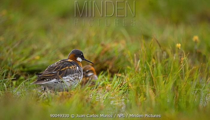 Red-necked Phalarope (Phalaropus lobatus) pair on land, Shetland Islands, Scotland United Kingdom  -  Juan Carlos Munoz/ npl