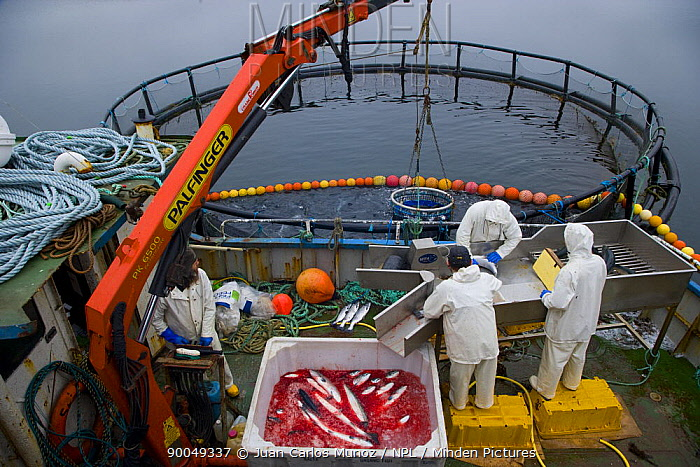 Atlantic Salmon (Salmo salar) fish farm, gutting the fish, Baltasounds, Unst Island, Shetland Islands, Scotland United Kingdom  -  Juan Carlos Munoz/ npl
