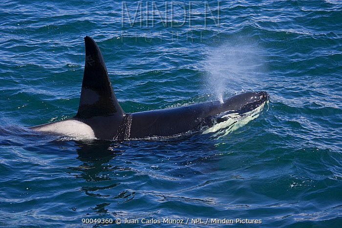 Orca (Orcinus orca) blowing at surface, Shetland Islands, Scotland United Kingdom  -  Juan Carlos Munoz/ npl