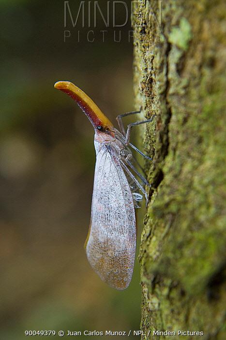 Lantern fly (Fulgora sp) Mount Kinabalu NP, Sabah, Borneo, Malaysia  -  Juan Carlos Munoz/ npl